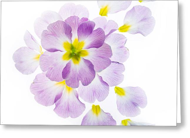 Primrose Petals 1 Greeting Card by Rebecca Cozart