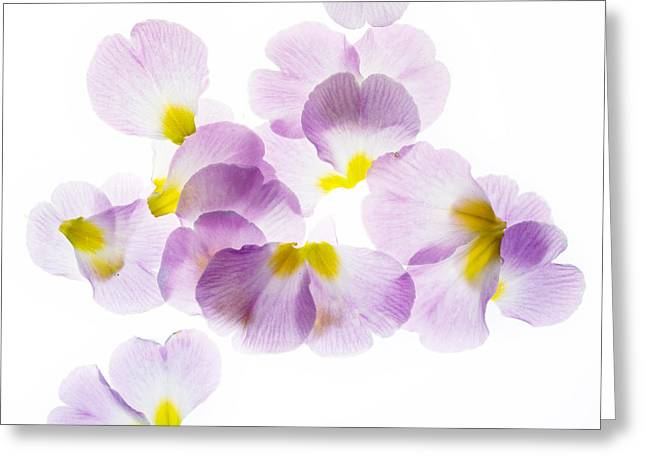 Primrose Petals 3 Greeting Card by Rebecca Cozart
