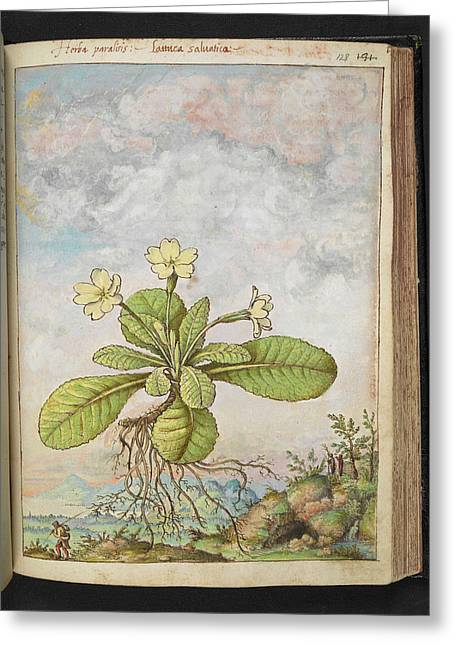Primrose (primula Vulgaris) Greeting Card by British Library