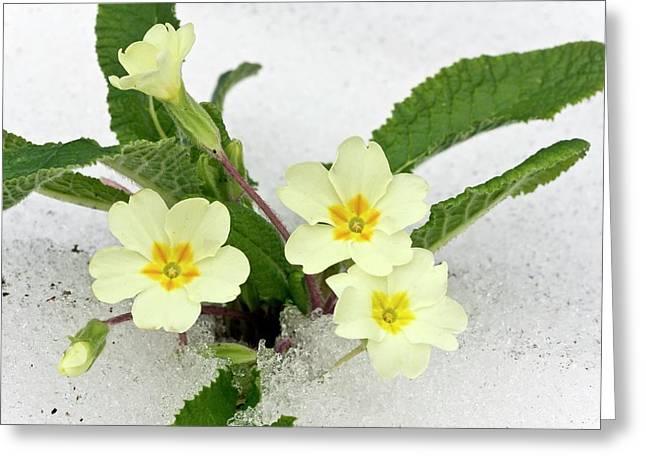 Primroses (primula Vulgaris) In Snow Greeting Card
