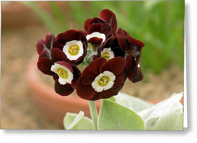 Primula Auricula 'gizabroon' Flowers Greeting Card by Adrian Thomas