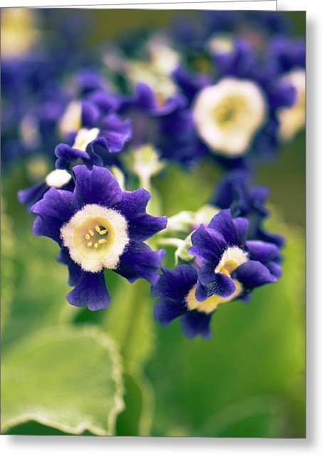 Primula Auricula 'old Irish Blue' Flowers Greeting Card by Adrian Thomas