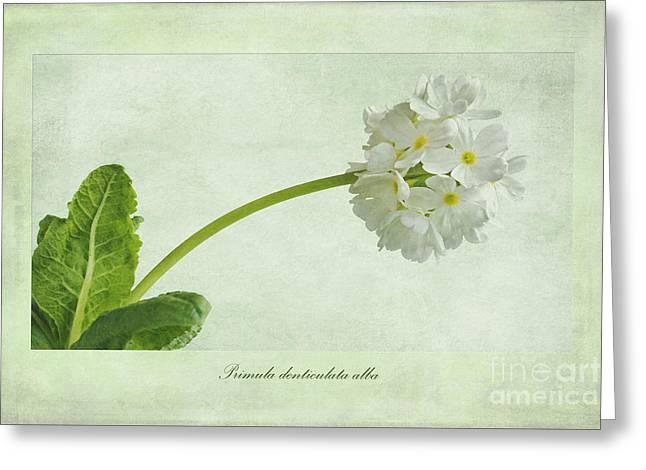 Primula Denticulata Alba Greeting Card by John Edwards