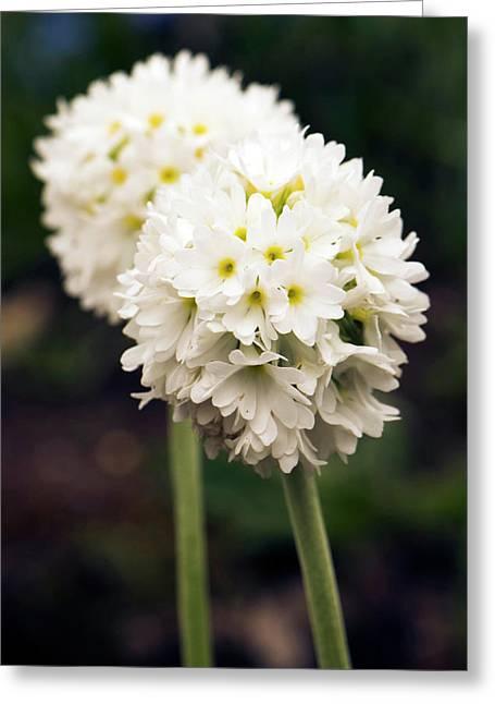 Primula Denticulata Flowers Greeting Card
