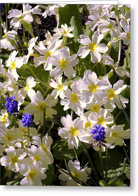 Primula 'mcwatt's Cream' Flowers Greeting Card