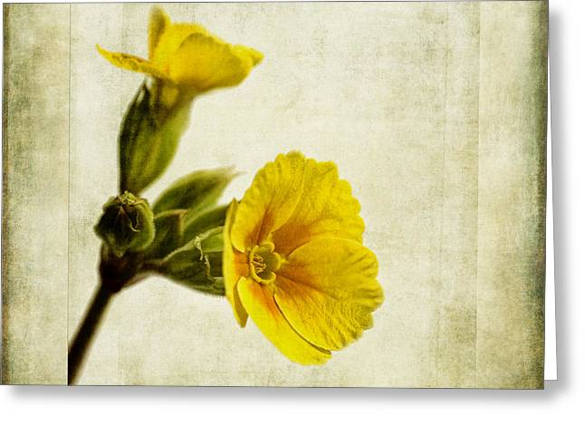Primula Pacific Giant Yellow Greeting Card by John Edwards
