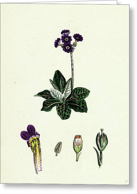 Primula Scotica Scottish Birds-eye Primrose Greeting Card by English School