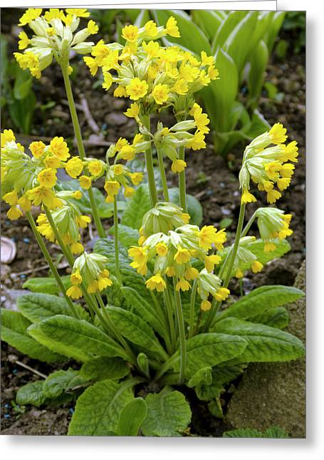 Primula Veris Flowers Greeting Card by Adrian Thomas