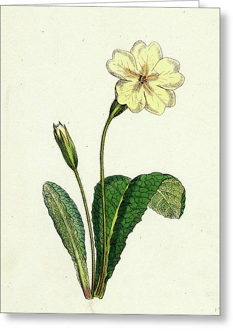 Primula Vulgaris Common Primrose Greeting Card by English School