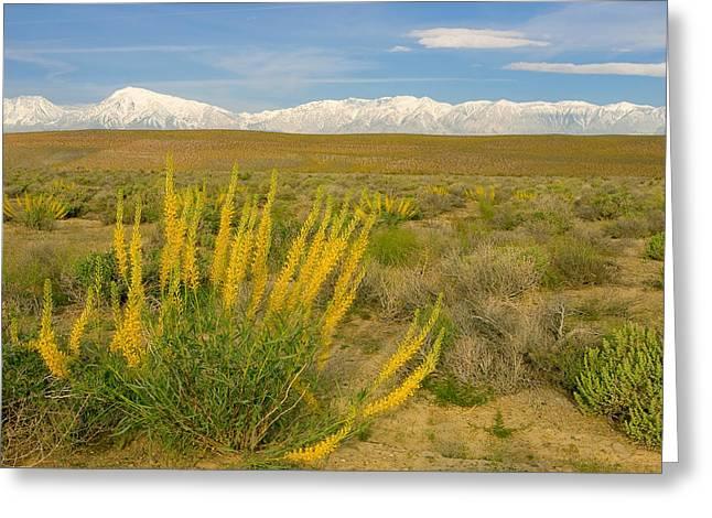 Princes Plume And Mount Tom - Spring Wildflowers Owens Valley Eastern Sierra California Greeting Card