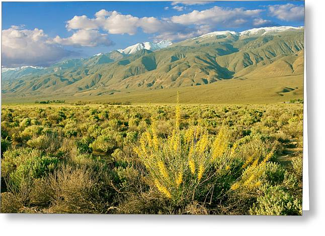 Princes Plume And White Mountains - Owens Valley California Greeting Card