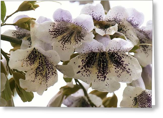 Princesstree (paulownia Tomentosa) Greeting Card
