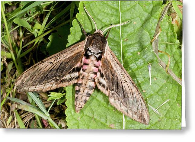 Privet Hawk-moth Greeting Card