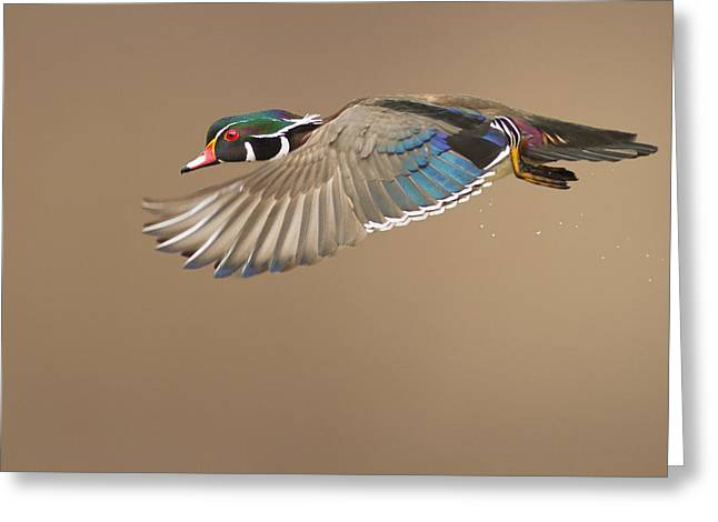 Probably The Most Beautiful Of All Duck Species Greeting Card by Mircea Costina Photography