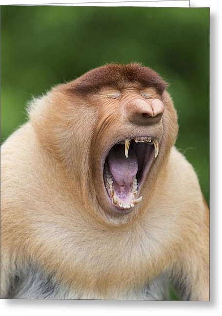 Proboscis Monkey Dominant Male Yawning Greeting Card by Suzi Eszterhas