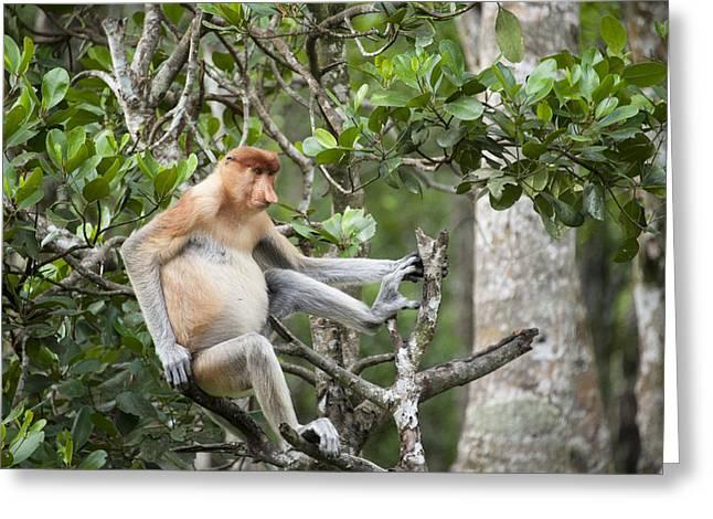 Proboscis Monkey In Tree Sabah Borneo Greeting Card by Suzi Eszterhas