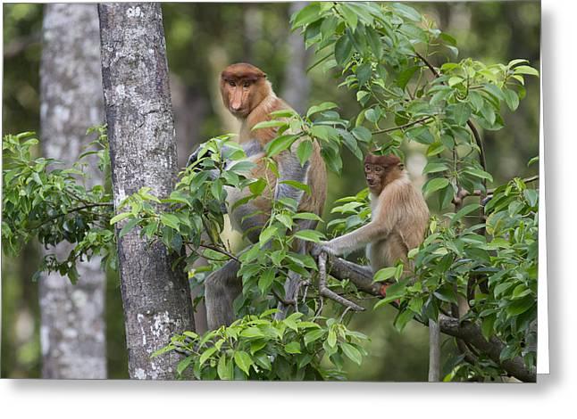 Proboscis Monkey Mother And Juvenile Greeting Card by Suzi Eszterhas