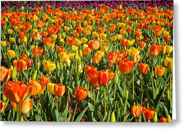 Profusion Of Tulips Biltmore Estate Nc Greeting Card