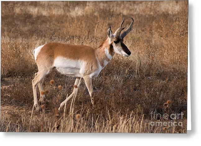 Pronghorn Antelope 2 Greeting Card by Vivian Christopher