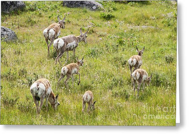 Greeting Card featuring the photograph Pronghorn Antelope In Lamar Valley by Belinda Greb