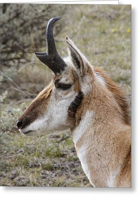 Pronghorn Buck Profile Greeting Card by Jill Bell