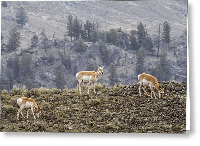 Pronghorn Does Greeting Card by Jill Bell