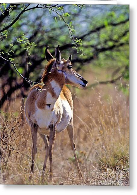 Pronghorn In Spring Greeting Card