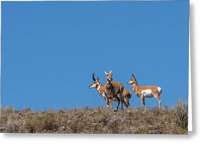 Pronghorn On Hilltop Greeting Card by Tom Norring