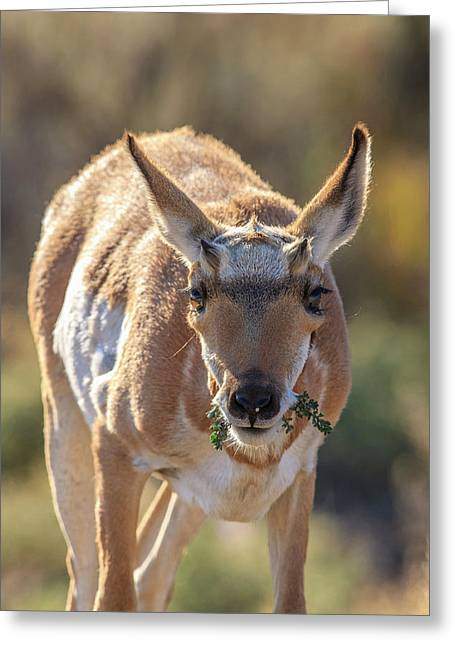 Pronghorn Yellowstone National Park Greeting Card by Tom Norring