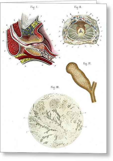 Prostate Anatomy Greeting Card by Collection Abecasis