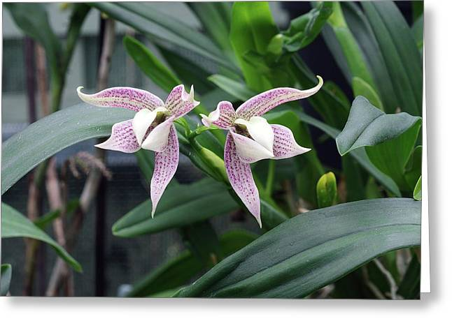 Prosthechea Orchid (prosthechea Garciana) Greeting Card