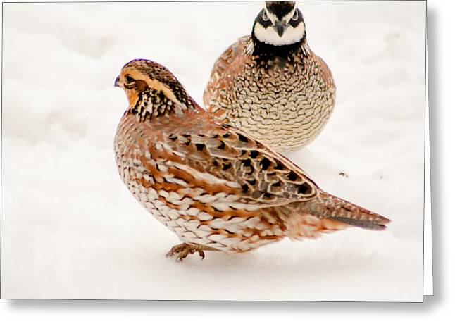 Protective Quail Greeting Card