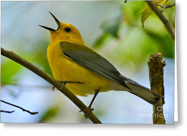 Prothonotary Warbler Singing Greeting Card by Kathy Baccari