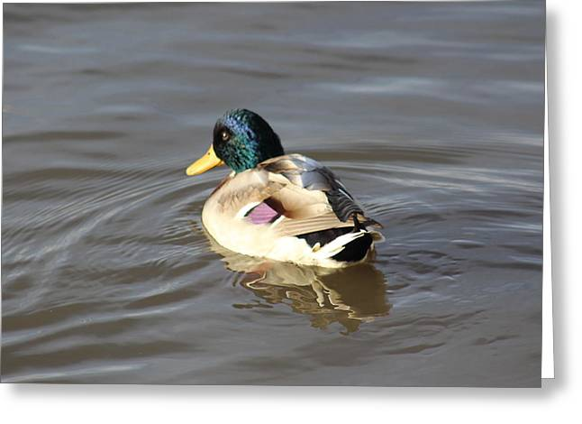 Proud Male Duck Greeting Card