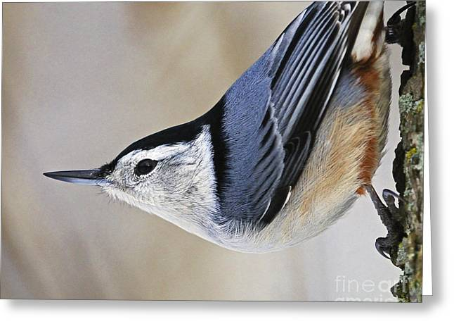 Proud Nuthatch... Greeting Card by Nina Stavlund