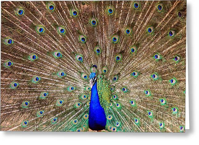 Greeting Card featuring the photograph Proud Peacock by Geraldine DeBoer