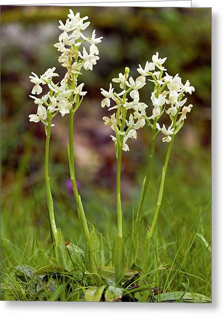 Provence Orchids (orchis Provincialis) Greeting Card by Bob Gibbons