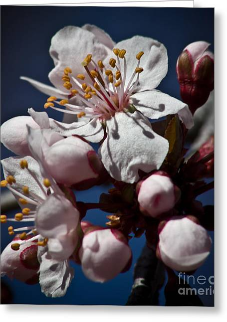 Prunus Armeniaca In Bloom Greeting Card