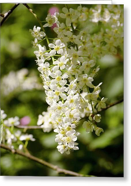Prunus Padus 'watereri' Flowers Greeting Card by Adrian Thomas