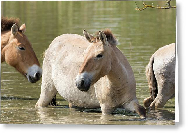 Przewalskis Horses Or Takhi (equus Greeting Card by Martin Zwick