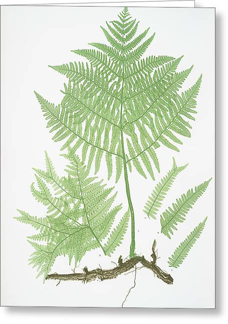 Pteris Aquilina. The Common Brakes, Or Bracken Greeting Card by Litz Collection