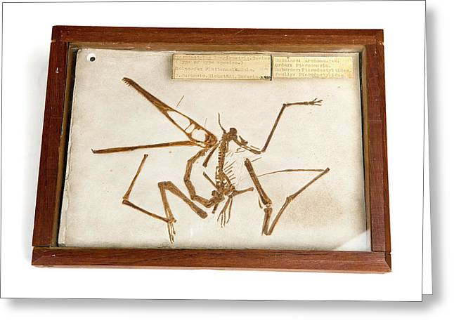Pterodactyl Fossil Cast Greeting Card by Ucl, Grant Museum Of Zoology