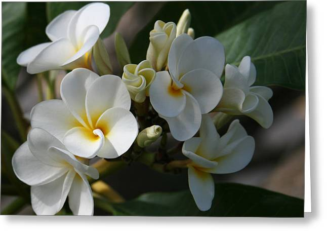 Pua Melia Na Puakea Onaona Tropical Plumeria Greeting Card