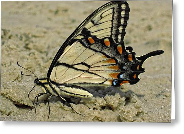 Puddling Eastern Tiger Swallowtail Butterfly Greeting Card by Lara Ellis