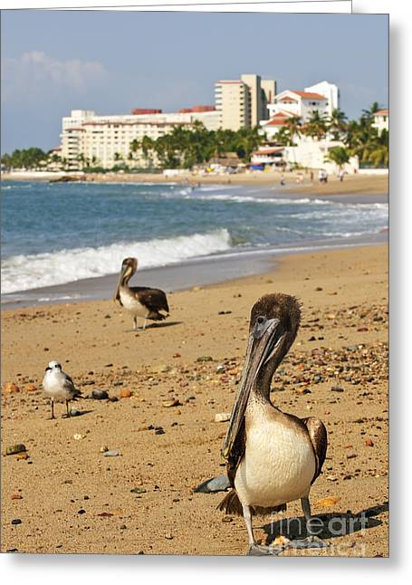 Puerto Vallarta Pelicans Greeting Card by Elena Elisseeva