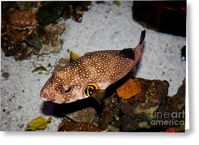Pufferfish 5d24157 Greeting Card by Wingsdomain Art and Photography