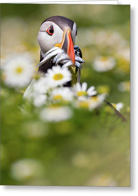 Puffin & Daisies Greeting Card