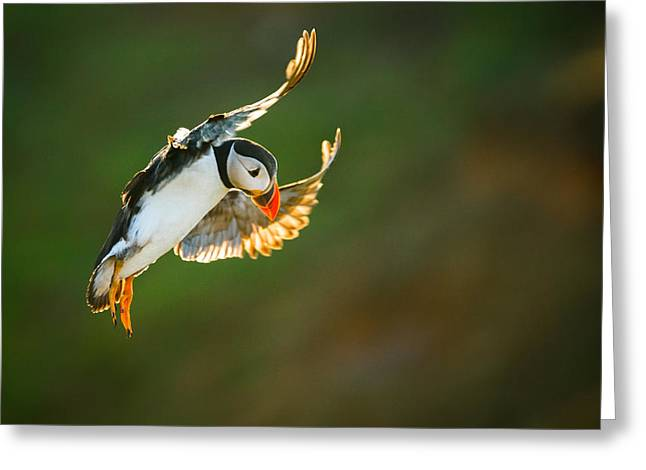 Puffin Angel Greeting Card