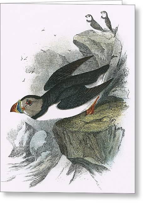 Puffin Greeting Card by English School
