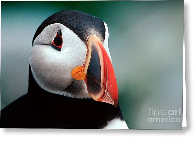 Puffin Head Shot Greeting Card by Jerry Fornarotto